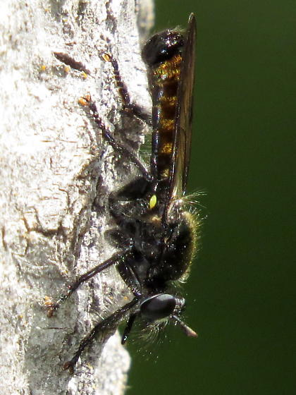 unknown robber fly - Laphria index