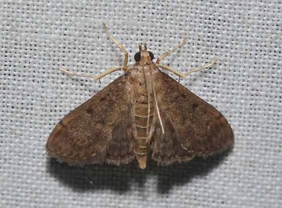 Herpetogramma phaeopteralis – Dusky Herpetogramma Moth - Herpetogramma phaeopteralis