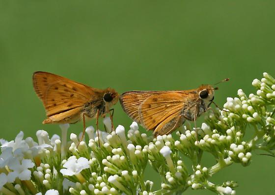 Fiery Skippers (preparing to mate) - Hylephila phyleus - male - female