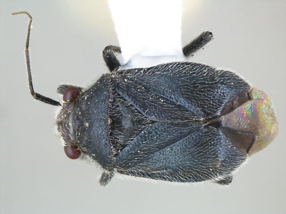 Halticotoma nicholi Knight - Halticotoma nicholi - female