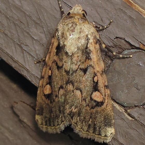 Unid. Noctuid - Dichagyris polycala