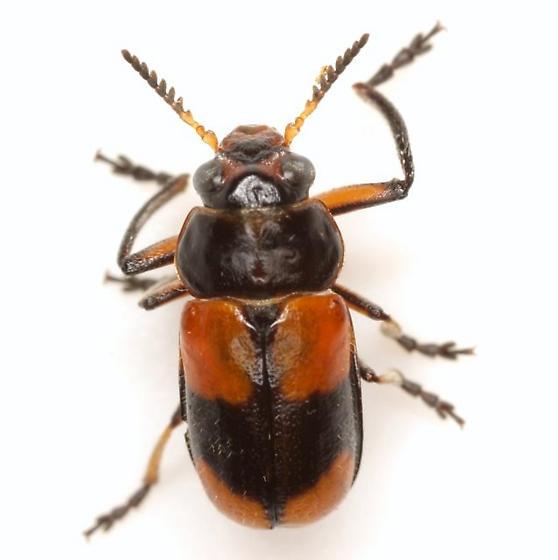 Anomoea rufifrons mutabilis (Lacordaire) - Anomoea rufifrons - male