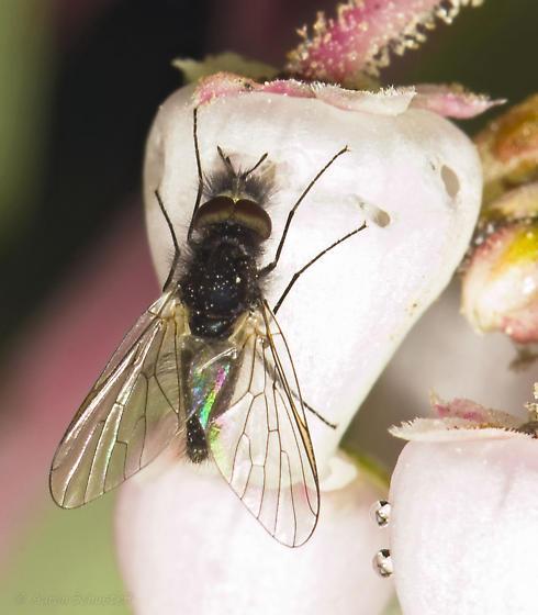 Phthiriini nectar-robbing manzanita flowers - male