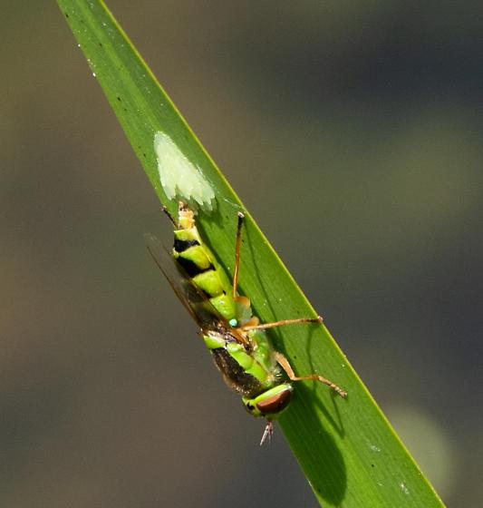 Odontomyia sp. - Odontomyia cincta - female