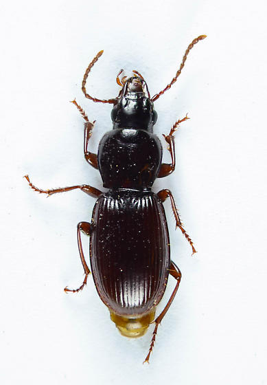 Another Pterostichini ? - Pterostichus