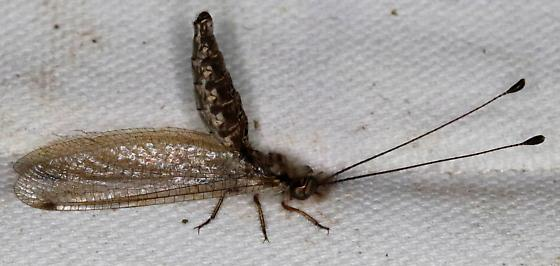 Ululodes macleayanus? - Ululodes macleayanus