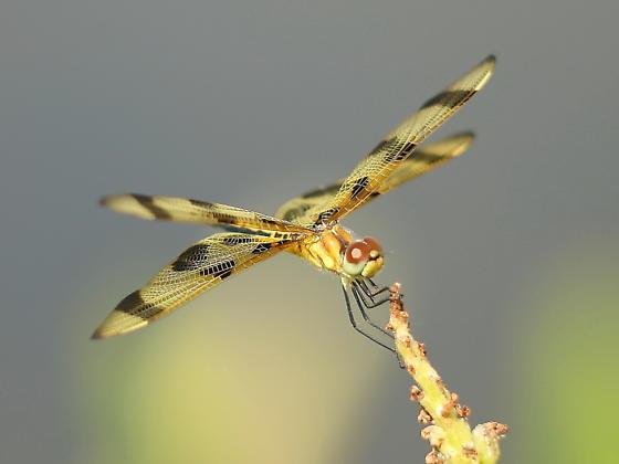 Dragonfly - Celithemis eponina
