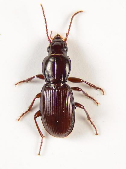 Another Pterostichini ? - Pterostichus pumilus