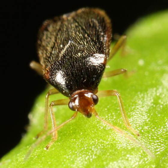 Fuzzy bug - Monalocoris americanus