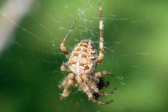 Araneidae - Araneus diadematus(?) - Araneus diadematus