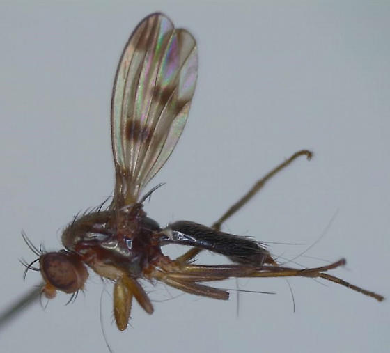 Acalypterate fly with spotted wings - Geomyza tripunctata