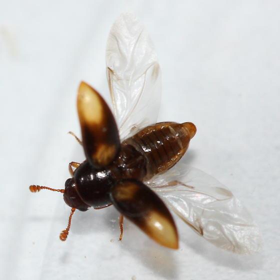 Sap-feeding Beetle - Dacne quadrimaculata