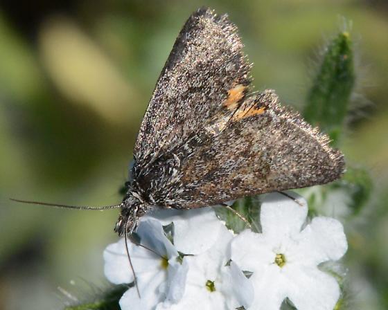 Brown Orange Moth - Loxostege immerens