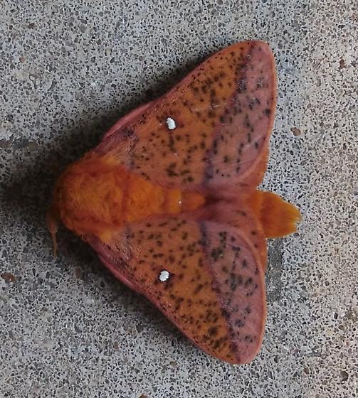 Anisota Stigma, Spiny Oakworm Moth -- MALE OR FEMALE?? - Anisota stigma - male