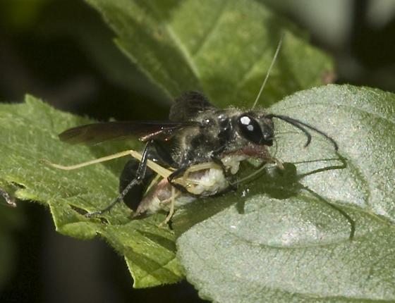 Isodontia with tree cricket - Isodontia