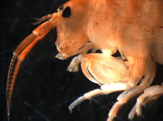 Salt marsh amphipod - Traskorchestia traskiana