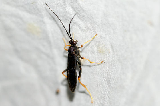 Unknown Ichneumon Wasp - Exetastes suaveolens