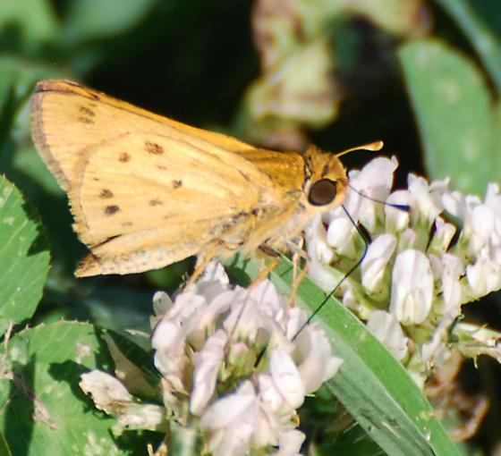 Skipper on Clover - Hylephila phyleus