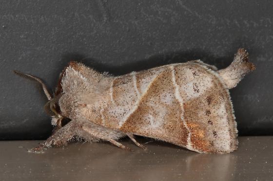 7896 – Clostera inclusa – Angle-lined Prominent Moth  - Clostera inclusa