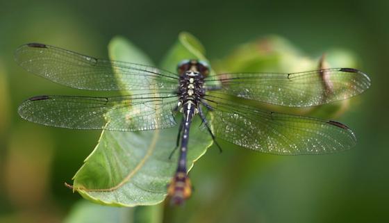 Laura's Clubtail (Stylurus laurae) - Stylurus laurae - male