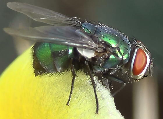 Green Blow Fly Close Ups (lateral) - Lucilia mexicana - female
