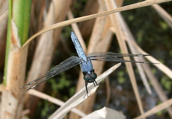Which Dragonfly? - Libellula cyanea