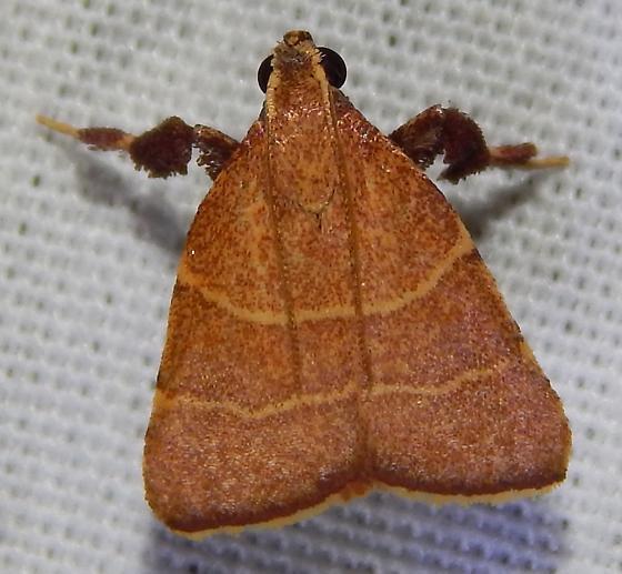 Parachma Moth? - Parachma ochracealis