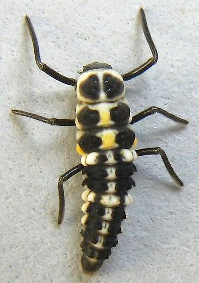 Lady Beetle Larva - Cycloneda polita