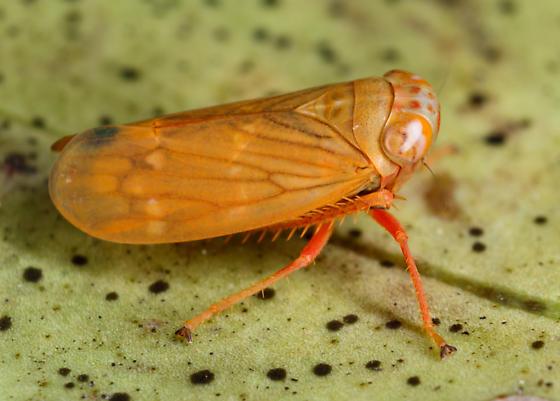 orange leafhopper - Jikradia? - Jikradia
