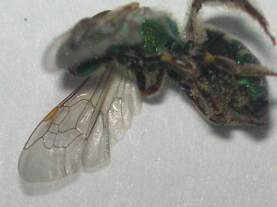 Agapostemon texanus (Halictidae) in the Colorado Rockies - Agapostemon - female