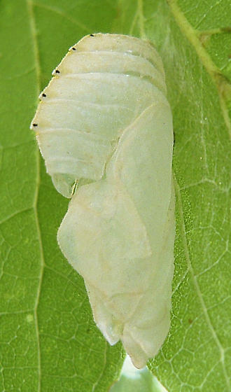 Pupa on Hackberry - Asterocampa