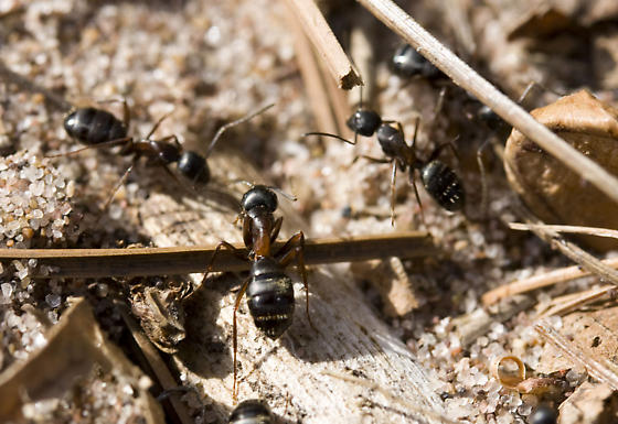 Ant - Camponotus