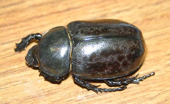 Eastern Hercules Beetle, dark form female - Dynastes tityus - female