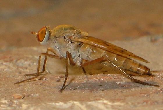orange-eyed fly - Arenigena