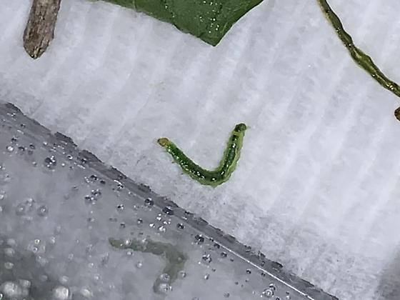 Caterpillar on my gypsy/jalapeño plant