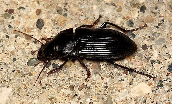 Beetle - Harpalus caliginosus