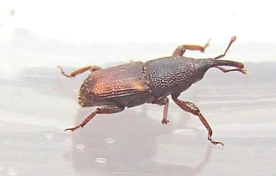Tiny Weevil  - Sitophilus zeamais