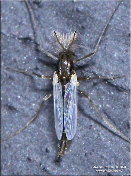 Orthocladiinae - male