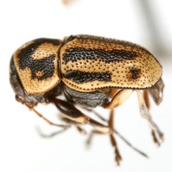 Pachybrachis kentuckyensis Riley and Barney - Pachybrachis kentuckyensis - male
