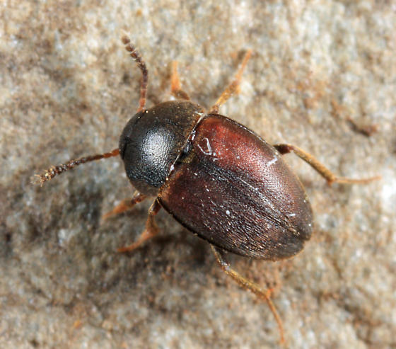 beetle - Catops paramericanus - male
