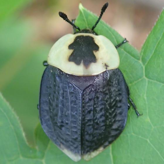 Beetle - Necrophila americana