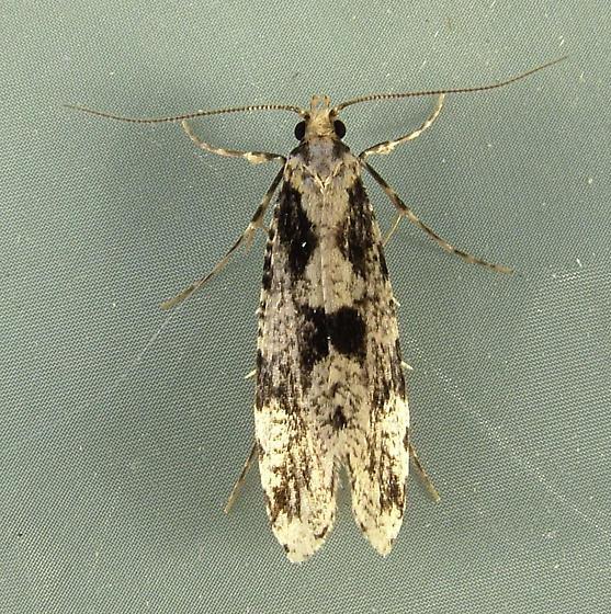 Morophagoides burkerella 0314 - Morophagoides burkerella