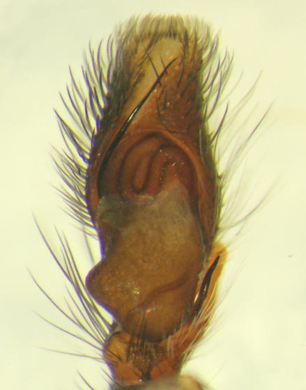 Probable T. hespera - ventral palp - Colonus hesperus - male