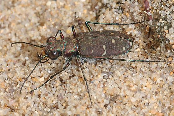Twelve-spotted Tiger Beetle for Virginia? - Cicindela duodecimguttata