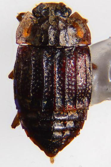 Micropeplus tesserula - Micropeplus punctatus