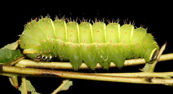 Actias luna. larval hairs - Actias luna