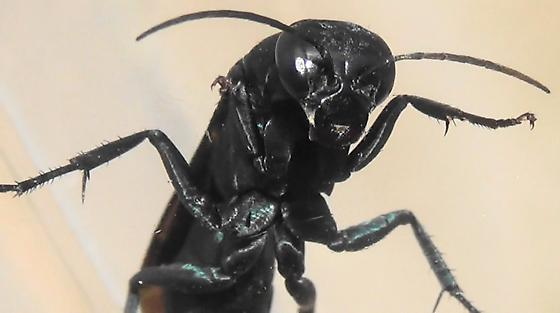 The Six Wasp Special - #1 of 6 - Psorthaspis planata - female