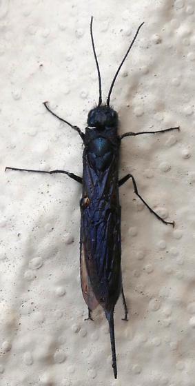 Sirex areolatus? - Sirex - female