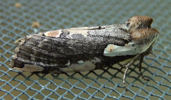 Drepanidae: Euthyatira pudens? - Euthyatira pudens