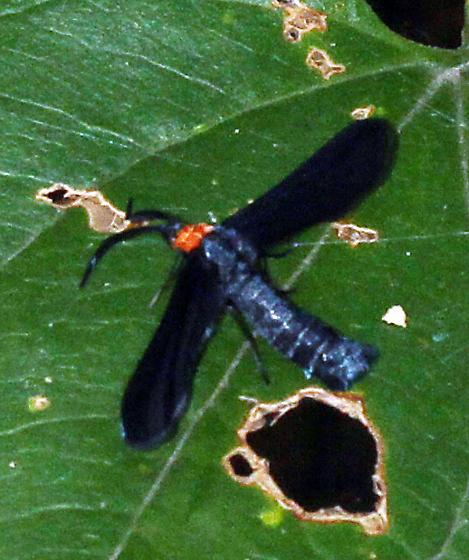 unidentified moth - Harrisina americana